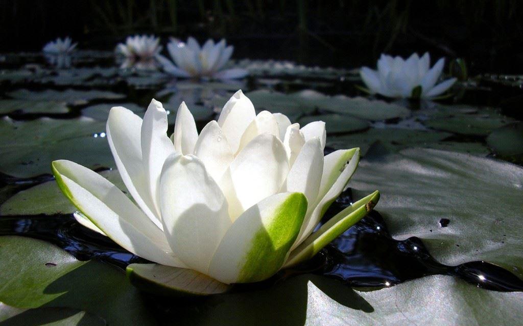 კირჩხიბი ყვავილი ლოტოსი