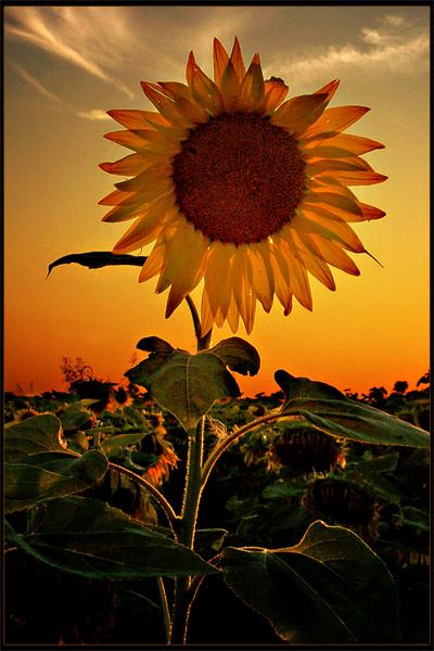 ლომი ყვავილი მზესუმზირა